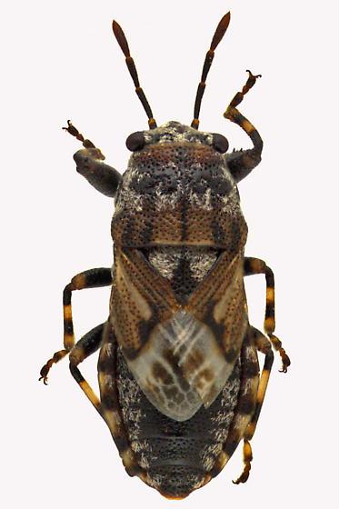 Pachygronthidae - Phlegyas abbreviatus
