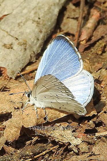 Butterfly005 - Celastrina neglecta