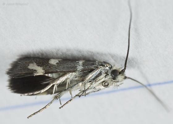 Undescribed desert Adela species - Adela