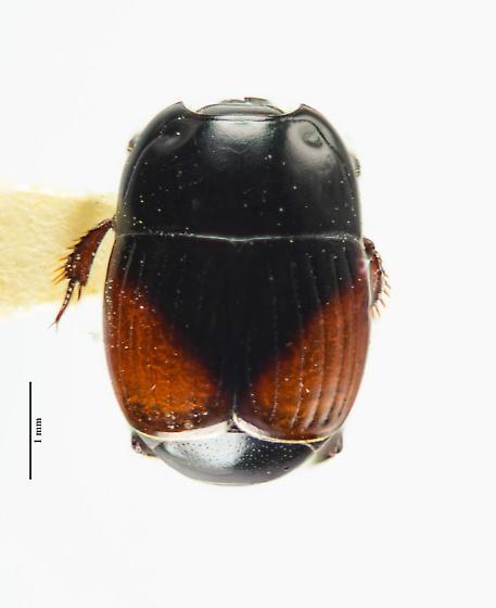 Atholus bimaculatus? - Atholus bimaculatus