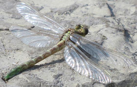 newly-emerged dragonfly - Stylurus notatus