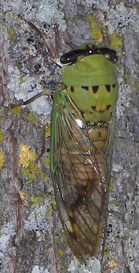 Green Cicada - Neotibicen superbus