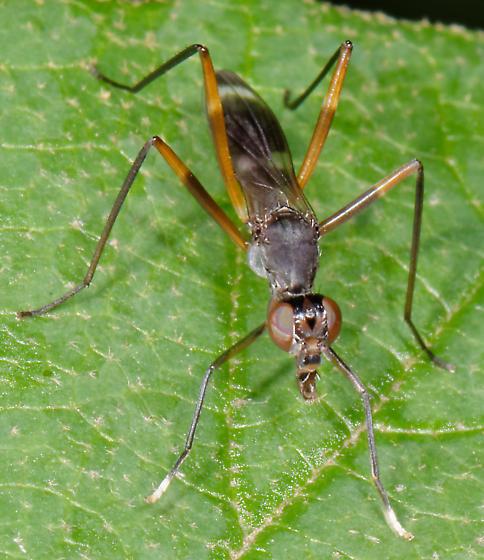 Micropezid - Taeniaptera trivittata - male