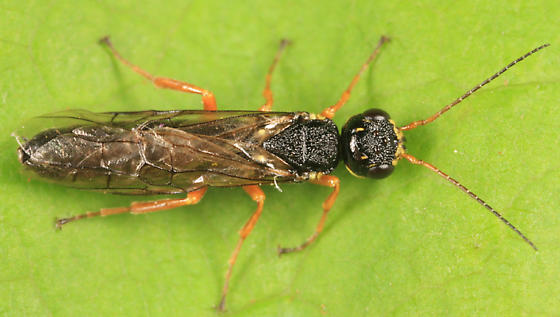 Xiphydriidae? - Xiphydria mellipes - male
