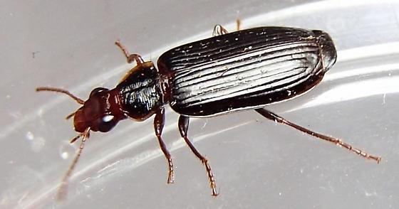 Beetle - Plochionus timidus