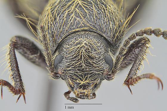 Eleodes barbatus - Eleodes barbata