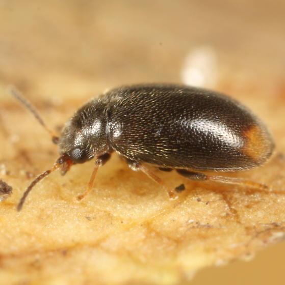 Small fuzzy beetle - Contacyphon padi