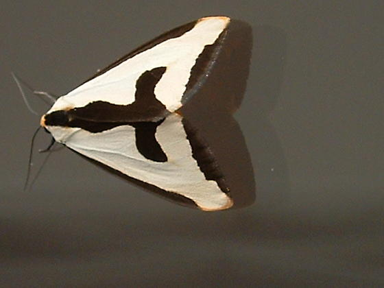 A Clymene Moth - Haploa clymene