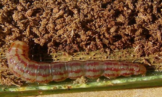 Larva - Homaledra species-two