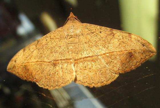 Species Anticarsia gemmatalis - Velvetbean Caterpillar Moth - Hodges#8574? - Anticarsia gemmatalis