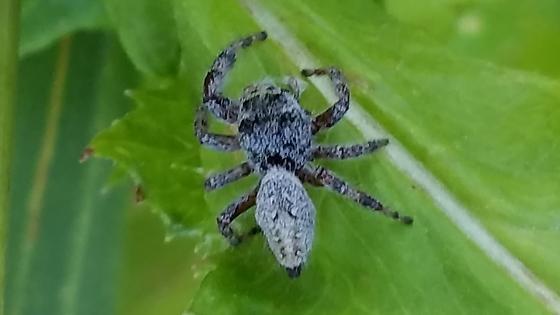 Spider on Wild Lettuce - Phidippus clarus