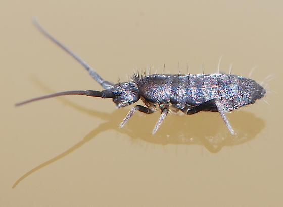 Collembola - Pogonognathellus dubius