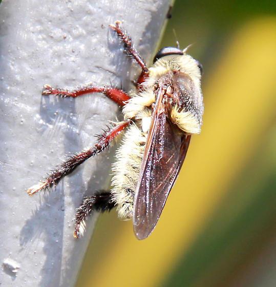 Robber Fly, is it Mallophora fautrix? - Mallophora fautrix