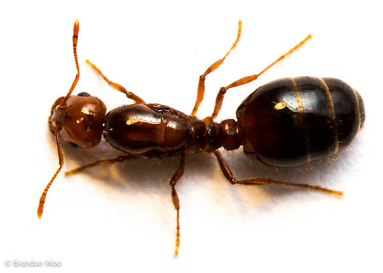 Solenopsis invicta - female
