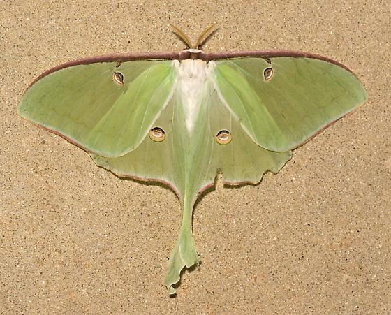 Luna Moth - Actias luna - female