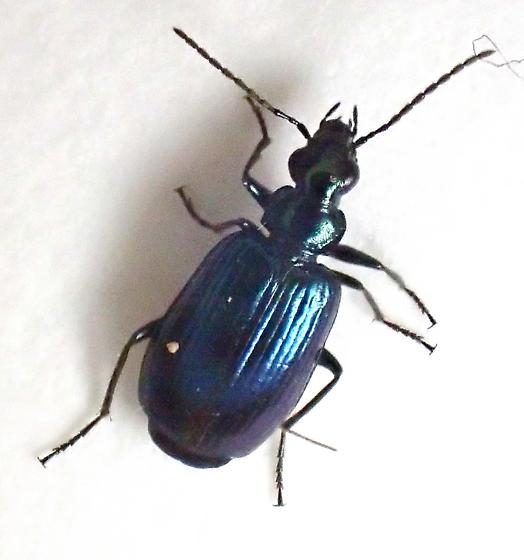 blueish Lrbia - Lebia