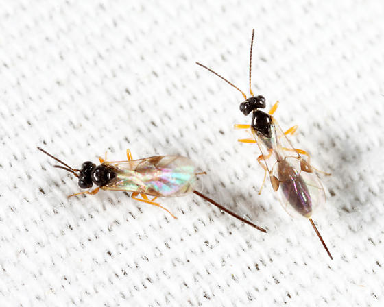 wasps - female