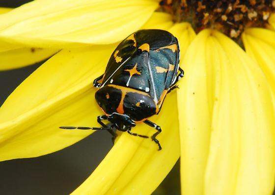 Harlequin Bug for California for April - Murgantia histrionica