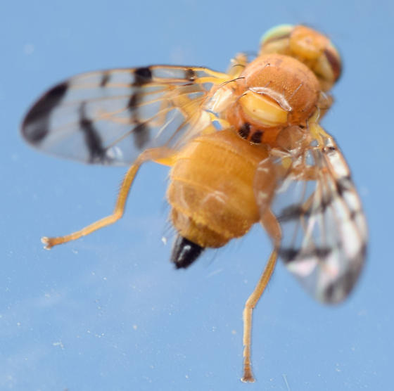 barberry fly - Rhagoletis meigenii - female