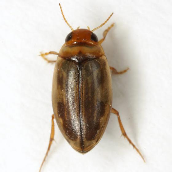 Hygrotus (Coelambus) nubilus (LeConte) - Coelambus nubilus
