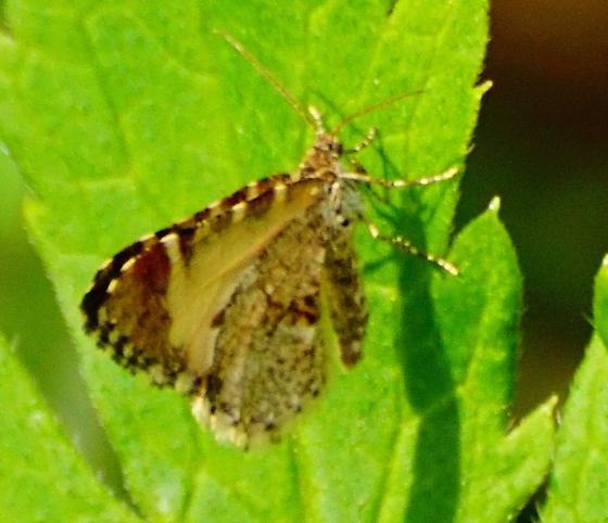 Small Moth - Stamnodes topazata