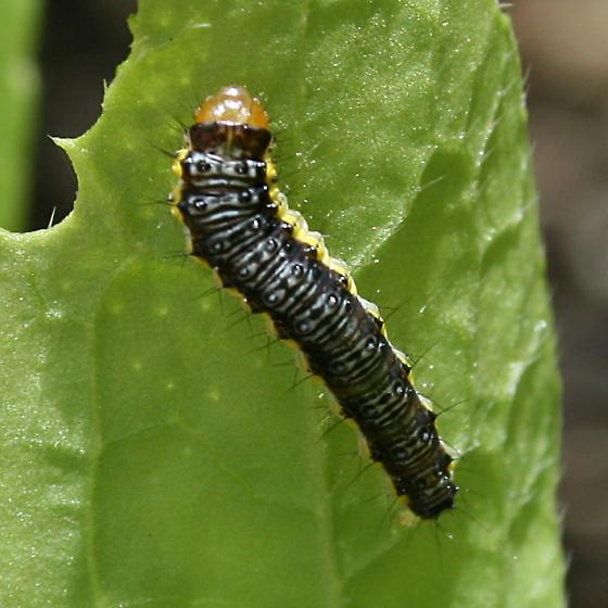 Caterpillar on Radish - Evergestis rimosalis