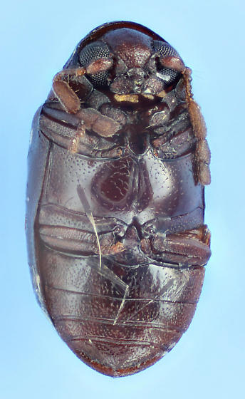 shiny Deathwatch - Calymmaderus nitidus