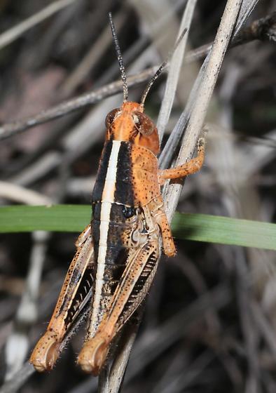 Orange and black Grasshopper - Barytettix humphreysii
