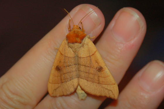 Looper Moth? - Datana perspicua