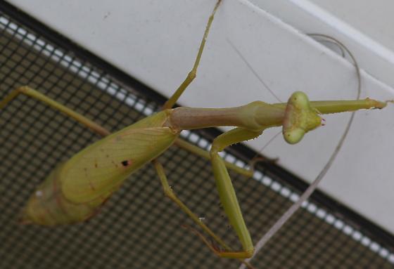 What kind of Mantis? - Stagmomantis carolina - female