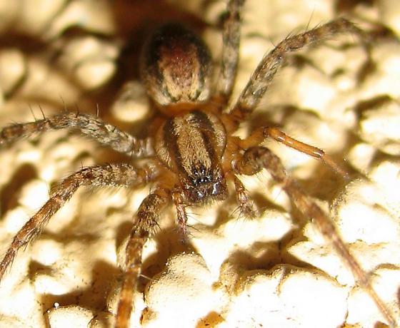 Adult female agelenid - Hololena - female