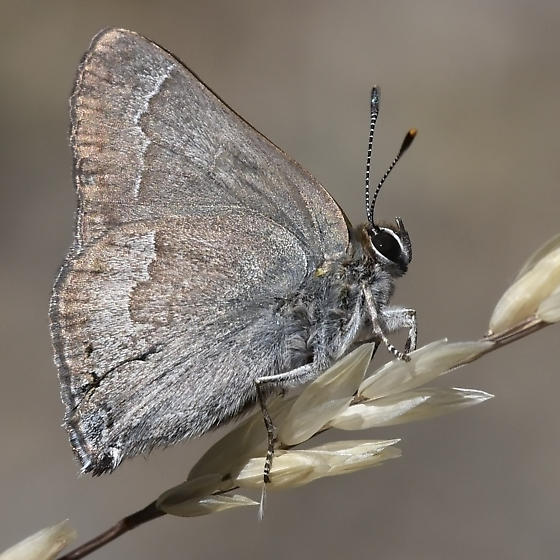 Mountain-mahogany Hairstreak - Satyrium tetra