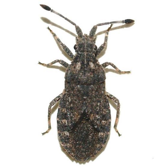 Bug - Scolopocerus granulosus