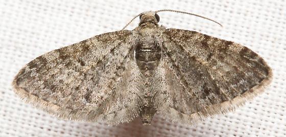 Unidentified moth - Eupithecia
