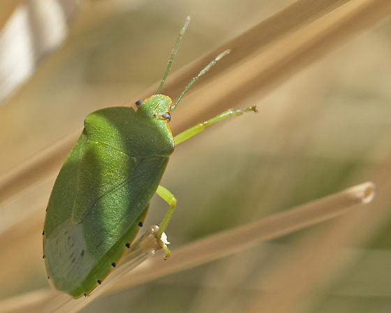 Green Stink bug - Chinavia species? - Chinavia hilaris