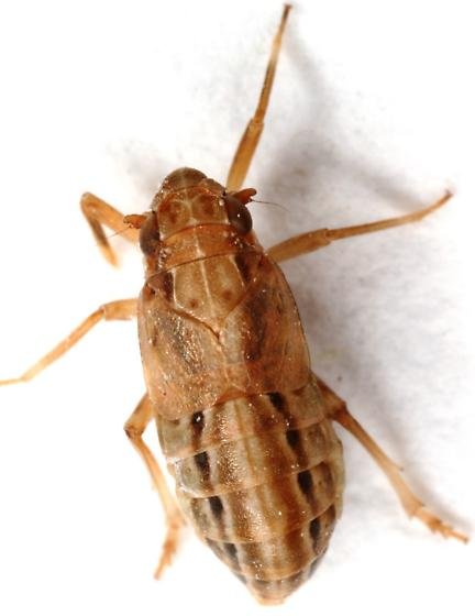 Piglet Bug or Issid Bug - Asarcopus palmarum - female
