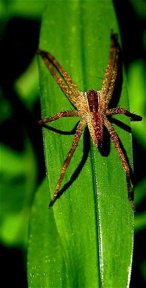 Nursery Web spider (blade life 2) - Pisaurina