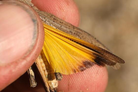 Acrididae - Arphia - female