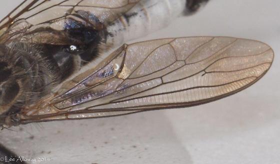 Odd fly - Efferia aestuans