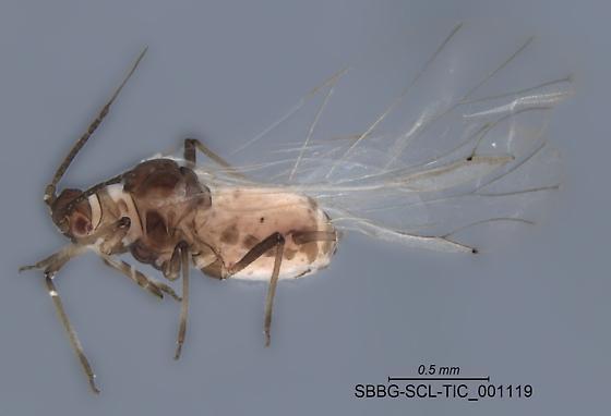 SBBG-SCL-TIC_001119 - Rhopalosiphum rufiabdominale