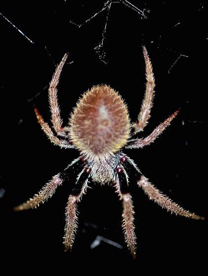 Another Everglades Spider - Eriophora ravilla