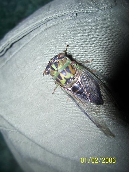Tibicen sp. (near linnei) - Neotibicen - male