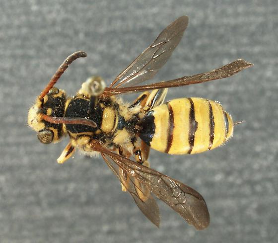 Nomada edwardsii - female