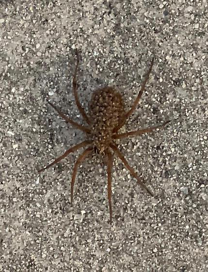 Carolina Wolf Spider? - Rabidosa