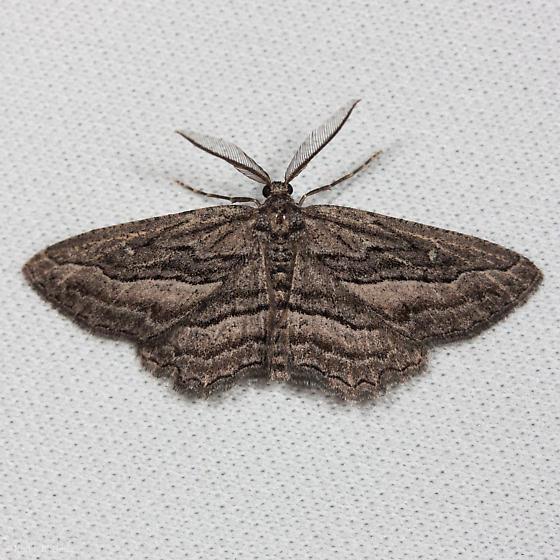 Unknown moth from Mt. Diablo - Aethaloida packardaria - male