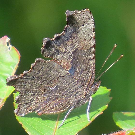 unidentified butterfly111640 - Polygonia progne