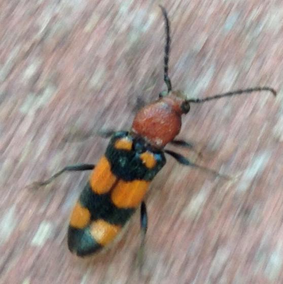 Orange and black beetle - Zagymnus clerinus