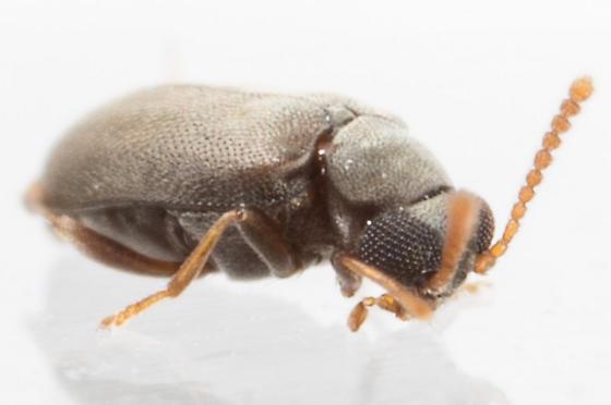 Beetle - Vanonus musculus - male