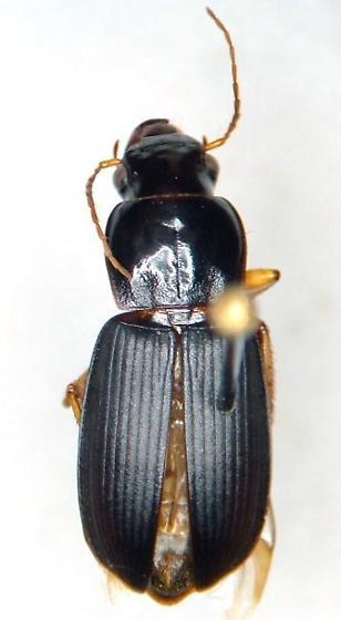 Harpalus protractus - female