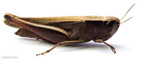 Amblytropidia mysteca - female